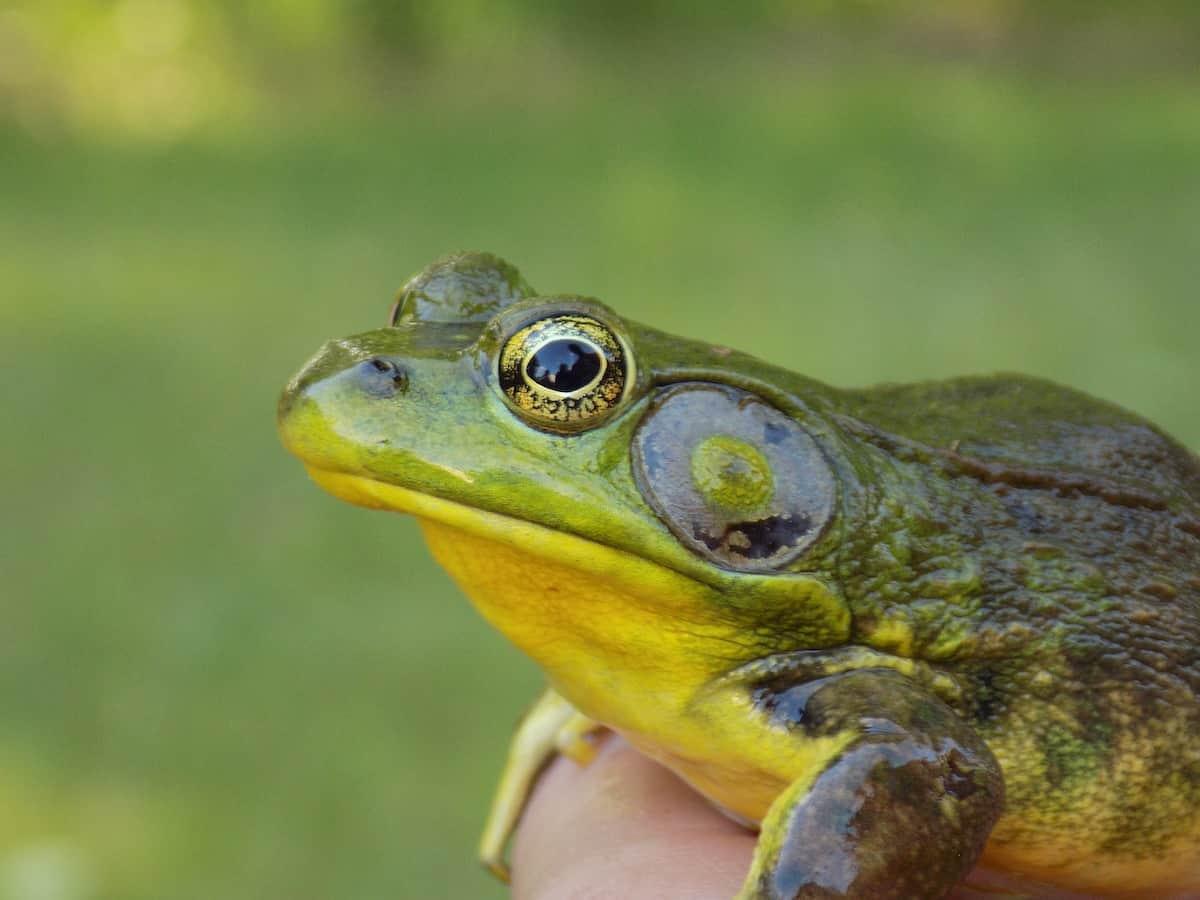 What-frogs-look-like-Bullfrog