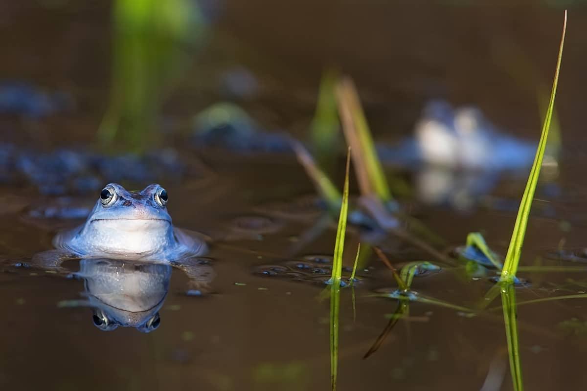 moor-frog-in-the-wild-PDAJWLR-min