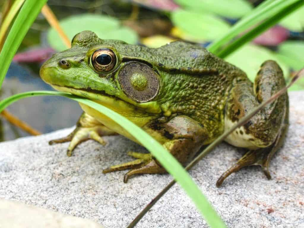 Bullfrog Facts-min