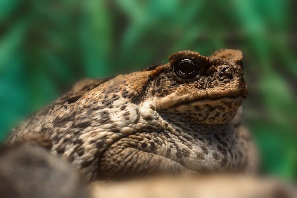 Get Rid Cane Toads