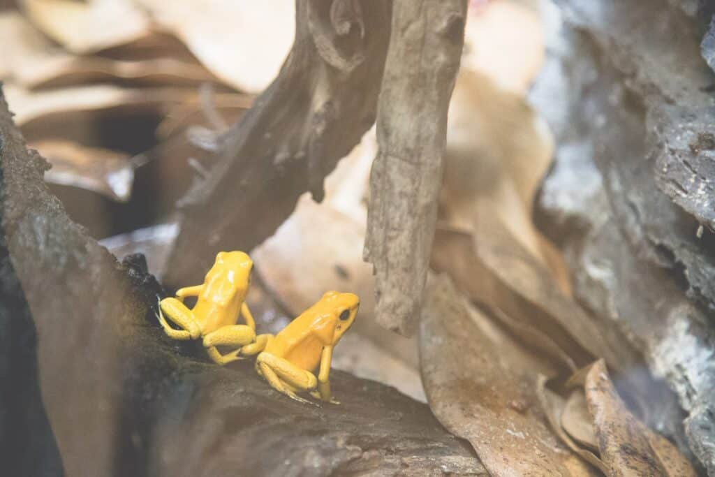 Stunning Deadly Poison Dart Frogs