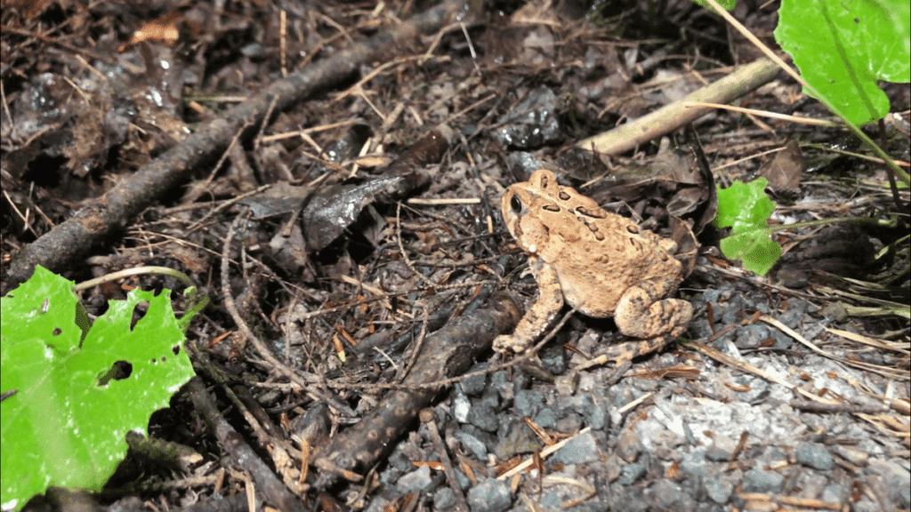 Small American Toad-min