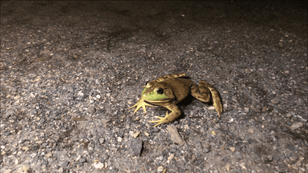 Why Are Frogs Amphibians-min